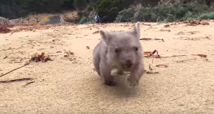 wombat-baby